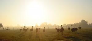 Struisvogels in weide