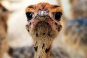 Selfie struisvogelkuikentje