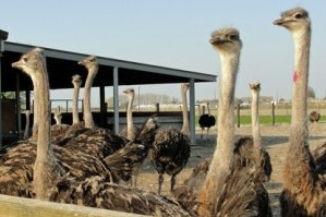 Slachtvogels in weide
