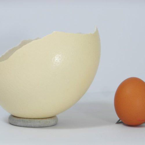 Half struisvogelei vs. kippenei