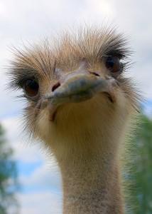 Kop Struisvogel