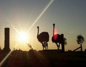 Struisvogels zonsondergang