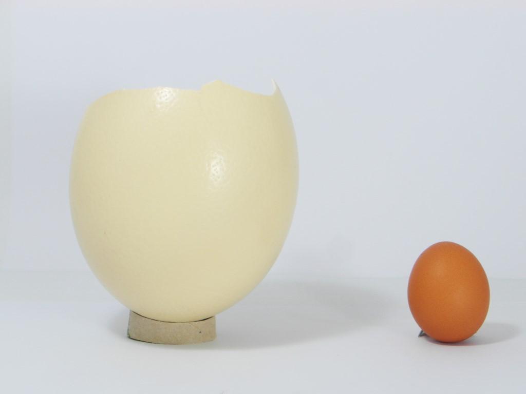 Driekwart struisvogelei vs. kippenei