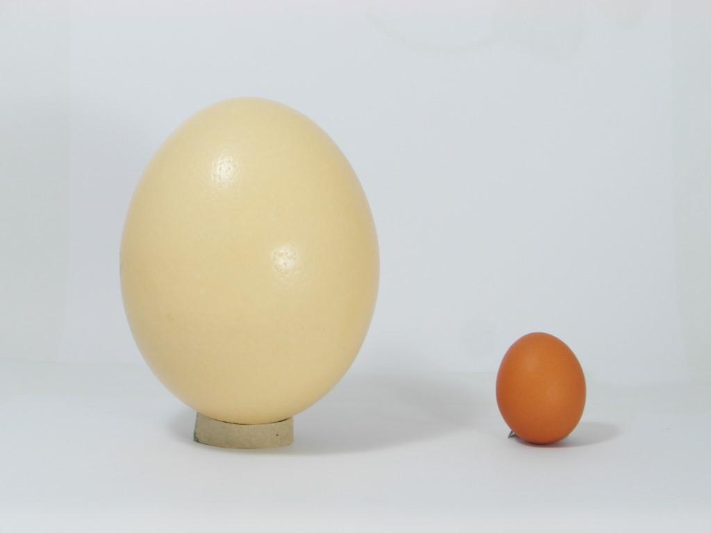 Struisvogelei vs. kippenei
