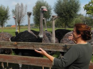 Struisvogels met bezoeker